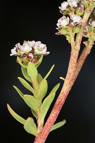 Corrigiola litoralis L.