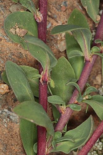 Corrigiola telephiifolia Pourr.