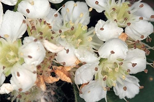 Cotoneaster granatensis Boiss.