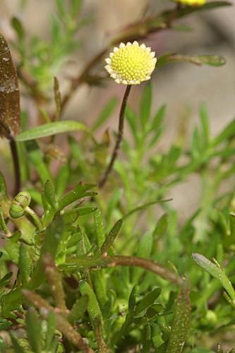 Cotula coronopifolia L.
