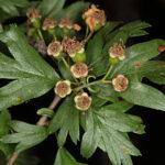 Crataegus azarolus L.
