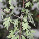 Crataegus laciniata Ucria