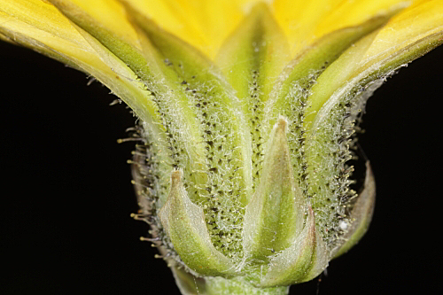 Crepis erythia Pau
