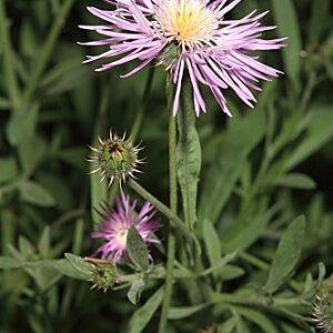 Cyanopsis muricata (L.) Dostál