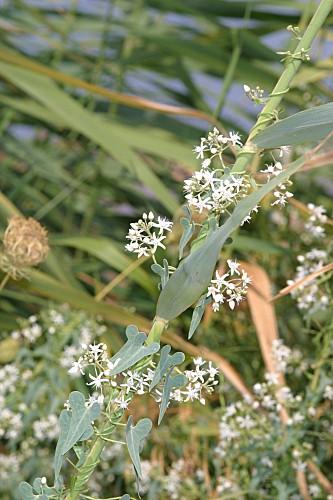 Cynanchum acutum L.