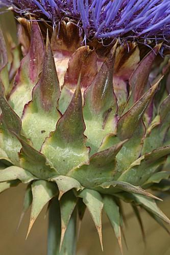 Cynara cardunculus L.