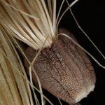 Cynara humilis L.