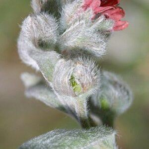 Cynoglossum cheirifolium subsp. cheirifolium L.