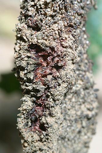 Cynomorium coccineum L.