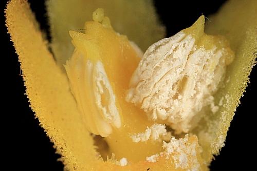 Cytinus hypocistis (L.) L.
