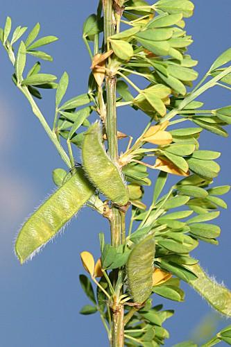 Cytisus arboreus subsp. baeticus (Webb) Maire