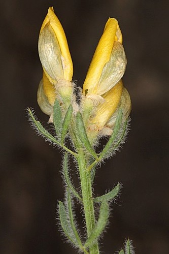 Cytisus fontanesii subsp. plumosus (Boiss.) Nyman