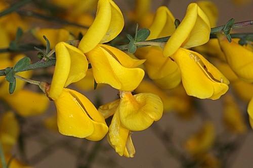 Cytisus grandiflorus subsp. cabezudoi Talavera