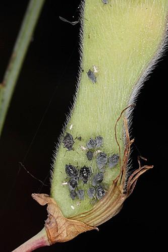 Cytisus grandiflorus (Brot.) DC.