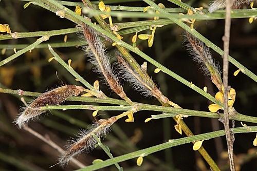 Cytisus malacitanus Boiss.