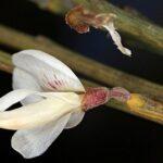 Cytisus multiflorus (L'Hér.) Sweet