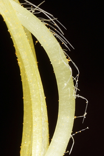 Cytisus scoparius subsp. reverchonii (Degen & Hervier) Rivas Goday & Rivas Mart.