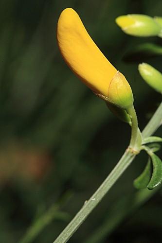 Cytisus striatus (Hill) Rothm.