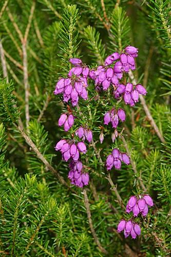 Daboecia cantabrica (Huds.) K. Koch