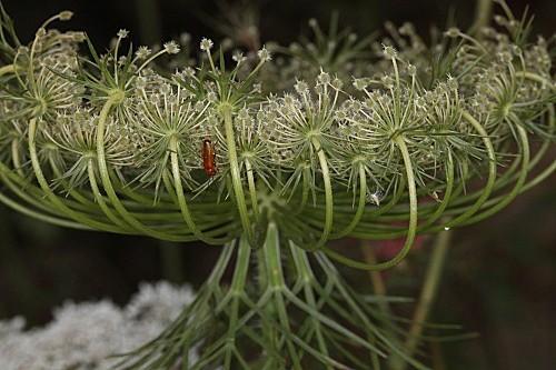 Daucus carota L.