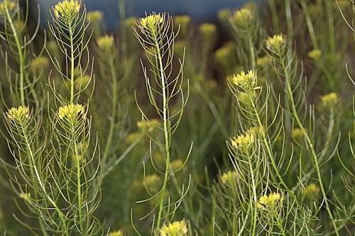 Descurainia sophia (L.) Webb ex Prantl in Engl. & Prantl