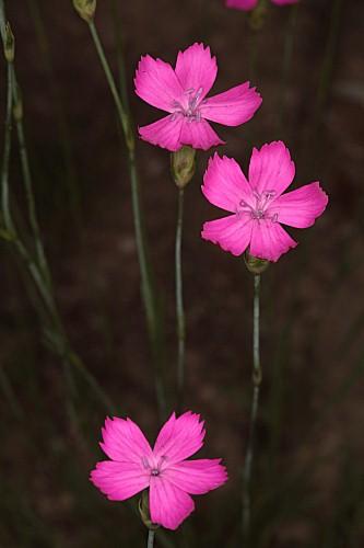 Dianthus anticarius Boiss. & Reut.