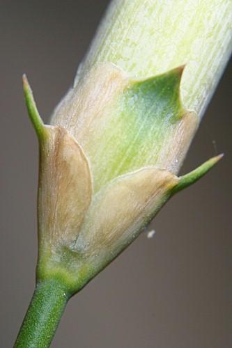 Dianthus boissieri Wilk.