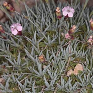 Dianthus brachyanthus Boiss.