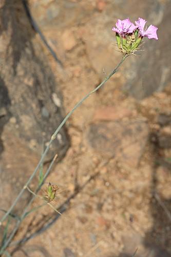 Dianthus crassipes R. Roem.