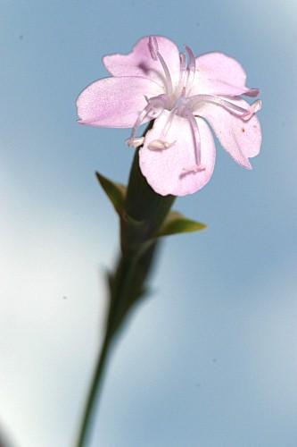 Dianthus gredensis Pau ex Caball.