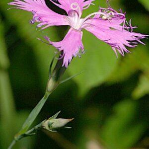 Dianthus hyssopifolious L.
