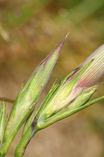 Dianthus legionensis (Willk.) F. N. Williams