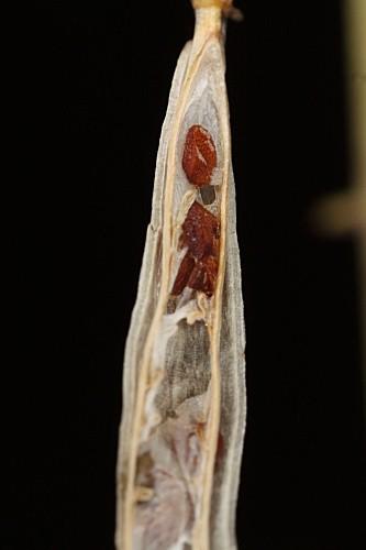 Semillas de Diplotaxis catholica en el interior de la legumbre