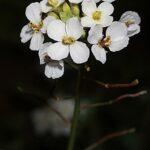 Diplotaxis erucoides (L.) DC.