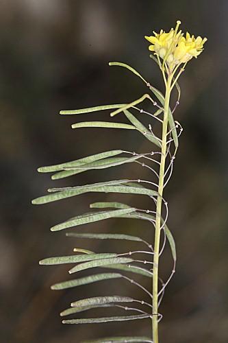 Diplotaxis harra subsp. lagascana (DC.) O. Bolòs & Vigo