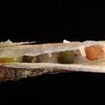 Diplotaxis siifolia subsp. siifolia Kunze