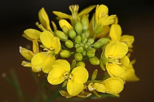 Diplotaxis virgata subsp. virgata (Cav.) DC.