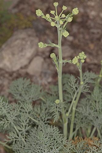 Distichoselinum tenuifolium García Martín & Silvestre