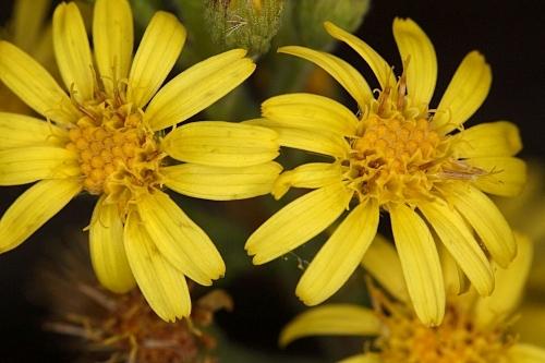 Dittrichia viscosa (L.) Greuter