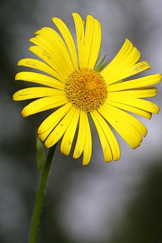 Doronicum plantagineum L.