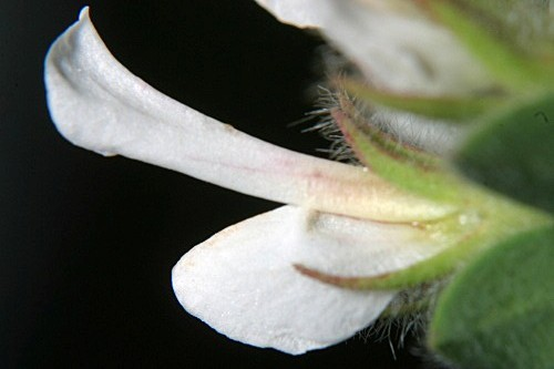 Dorycnium hirsutum (L.) Ser.