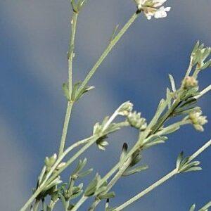 Dorycnium pentaphyllum Scop.