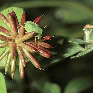 Dorycnium rectum (L.) Ser.