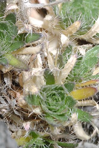 Draba hispanica subsp. hispanica Boiss.