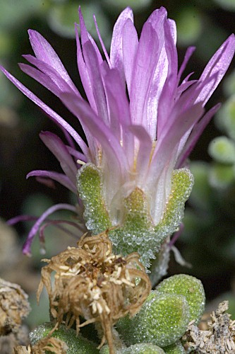 Drosanthemum floribundum (Haw) Schwantes