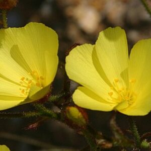 Drosophyllum lusitanicum (L.) Link