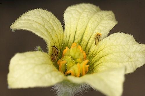 Ecballium elaterium subsp. dioicum (Batt.) Costich in Anales Jard. Bot. Madrid 45: 582 (1989)