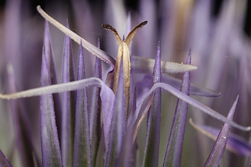 Echinops ritro L.