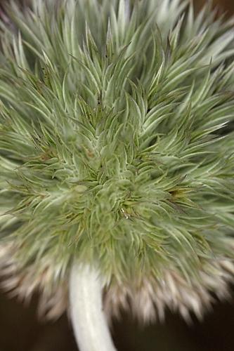 Echinops strigosus L.