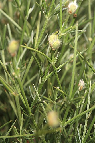 Echinospartum boissieri (Spach) Rothm.